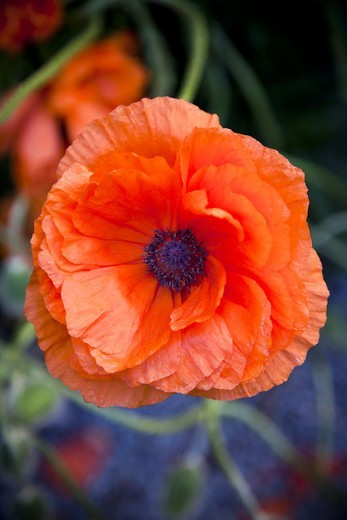 Stock Photo: 4306R-28253 Close up of poppy
