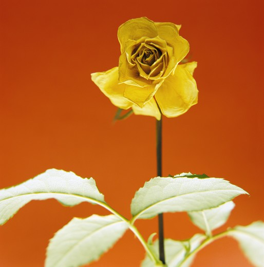 Stock Photo: 4306R-7849 Yellow rose against red background, close-up