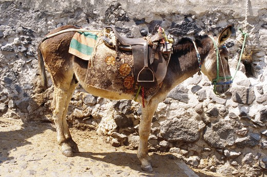 Donkey with saddle standing beside stone wall : Stock Photo