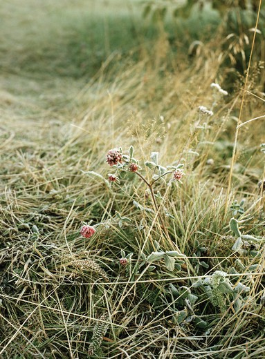 Stock Photo: 4306R-9218 Grass and flowers covered with frost.