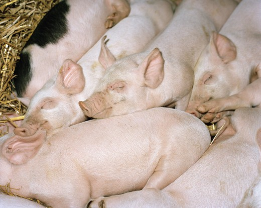 Stock Photo: 4306R-9556 Sleeping piglets.