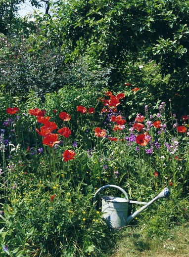 Poppies and a watering can in a garden. : Stock Photo