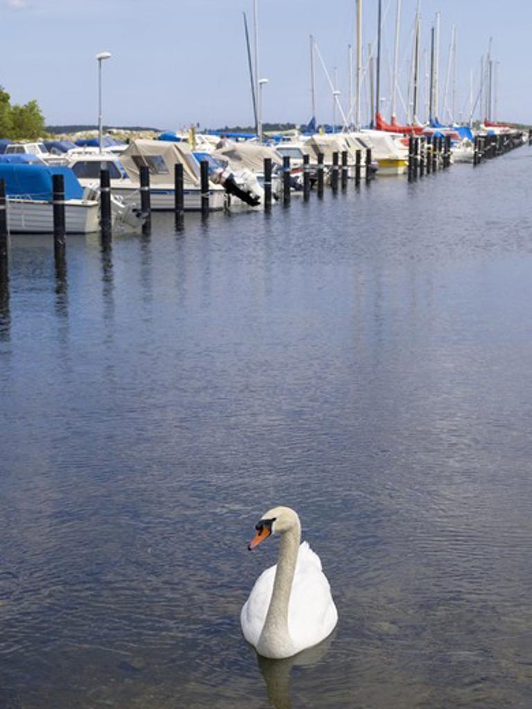 Stock Photo: 4306R-9752 A mute swan in a marina.