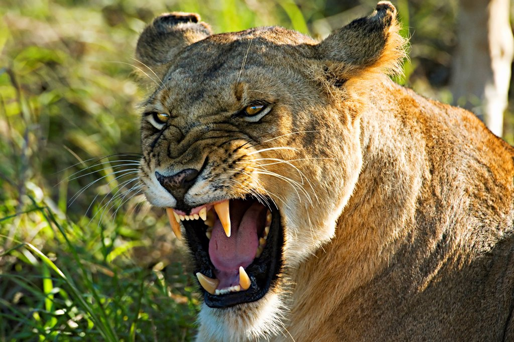 Stock Photo: 4307-255 Lioness Snarling