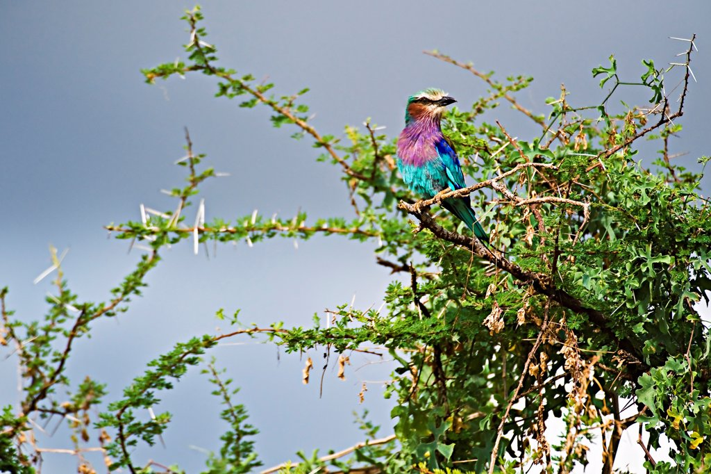 Lilac-Breasted Roller in Kenya?s Samburu National Park : Stock Photo