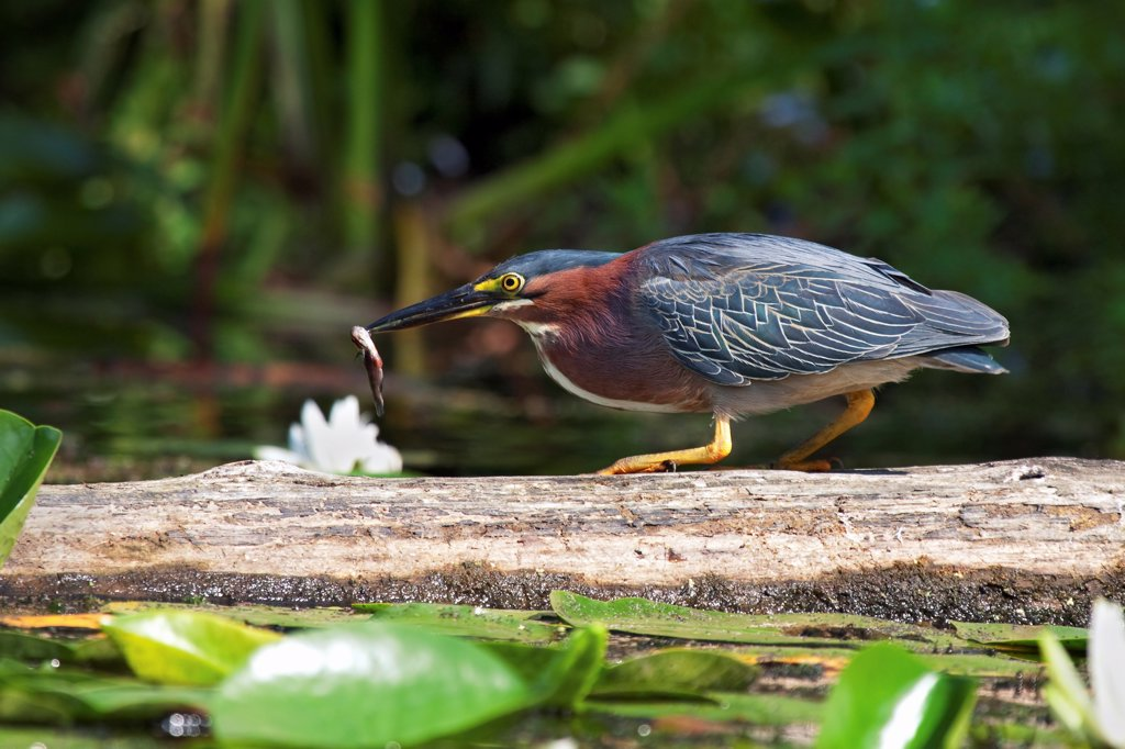 A Green Heron Successfully Catches a Fish : Stock Photo