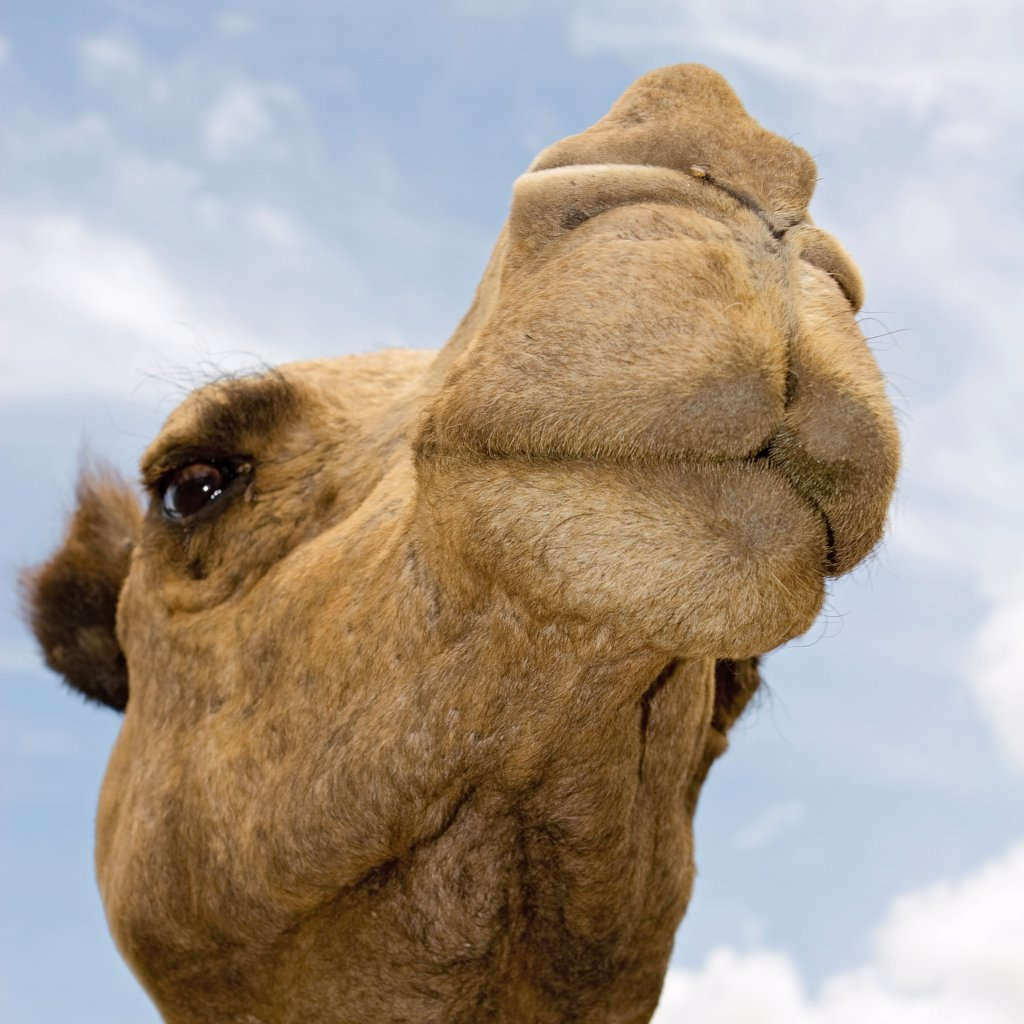 Stock Photo: 4311-198 The Face of a Camel