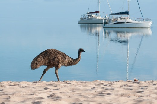 Stock Photo: 4313-1644 Australia, Western Australia, Shark Bay, Monkey Mia, Side view of emu walking