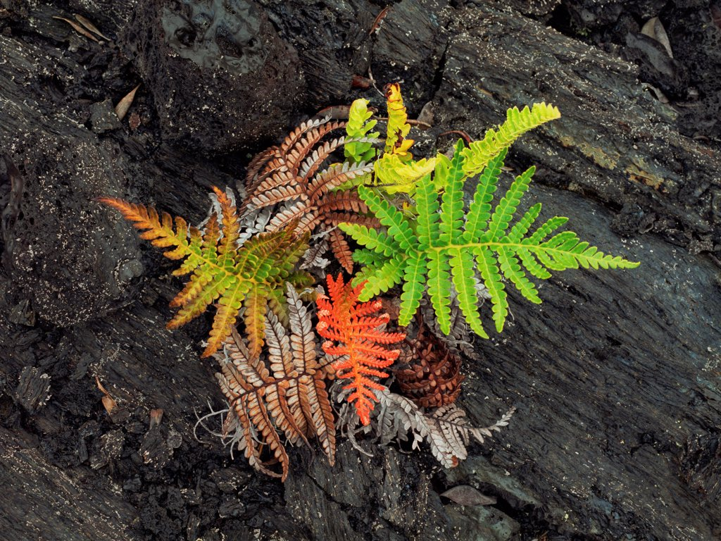 Competing Ferns Growing on Pahoehoe Lava Flow : Stock Photo