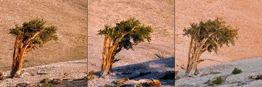 Stock Photo: 4316-1659 Bristlecone Pine