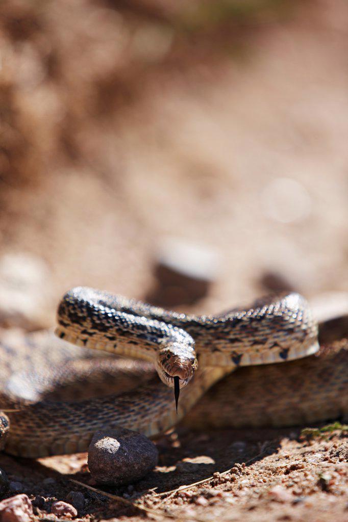 A Bull Snake Readies to Strike : Stock Photo