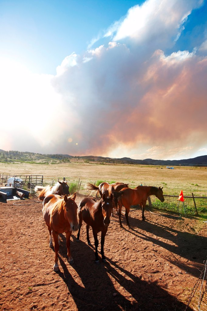 Stock Photo: 4316-4504 Horses below plume of smoke from raging mountain wildfire, Colorado, USA