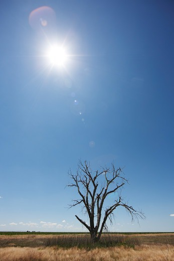 Sun and dead tree, Kansas : Stock Photo