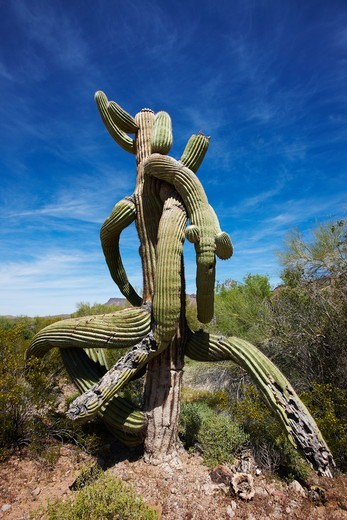 Twisted form of a Saguaro Cactus (Carnegiea gigantea), southern Arizona : Stock Photo