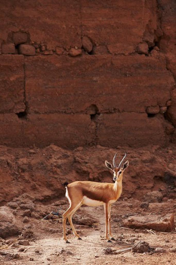 Stock Photo: 4316-5105 Dorcas gazelle (Gazella dorcas) interior Sahara Desert, Morocco