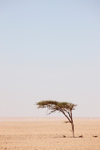 Stock Photo: 4316-5225 Lone Acacia tree on barren desert plain, interior Western Sahara