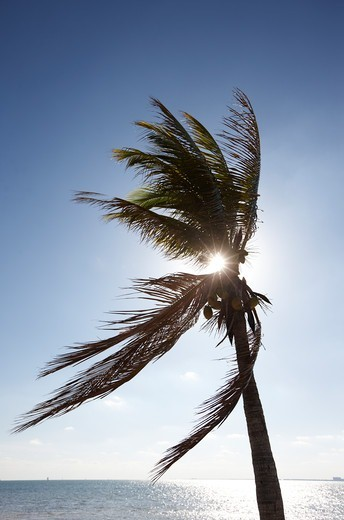 Stock Photo: 4316-5462 Silhouette of a palm tree back lit by sun, Florida, USA