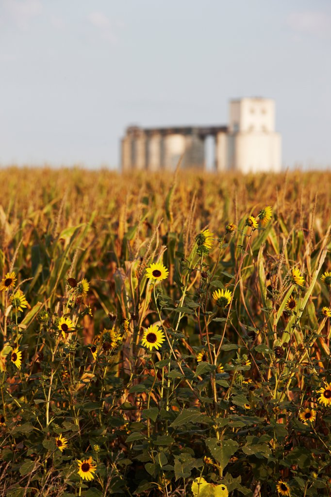 Stock Photo: 4316-5755 USA, Kansas, Field of sunflowers and distant grain elevator