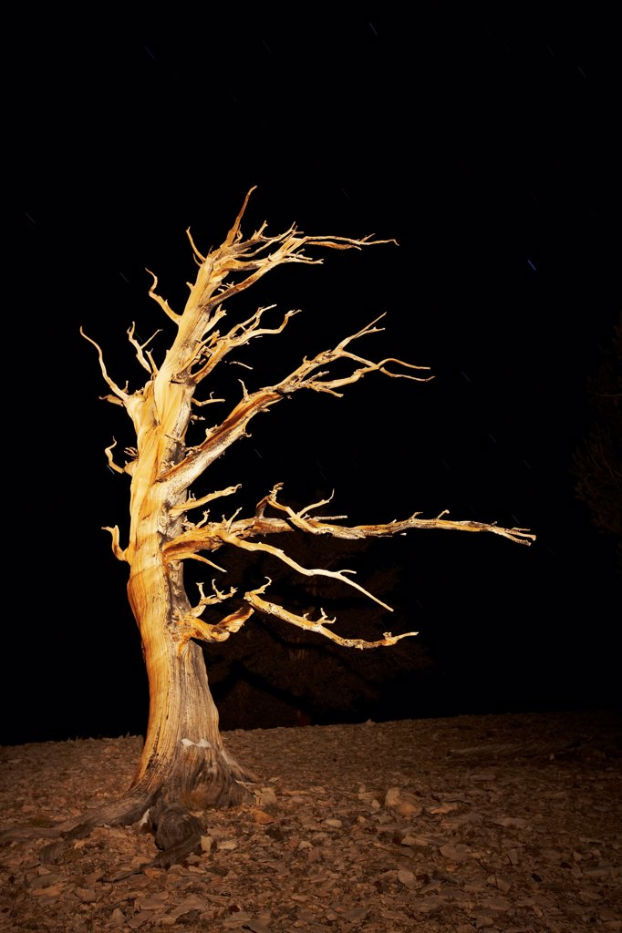 Stock Photo: 4316-5762 USA, California, White Mountains, Inyo National Forest, Patriarch Grove, Bristlecone Pine (Pinus Longaeva) at night