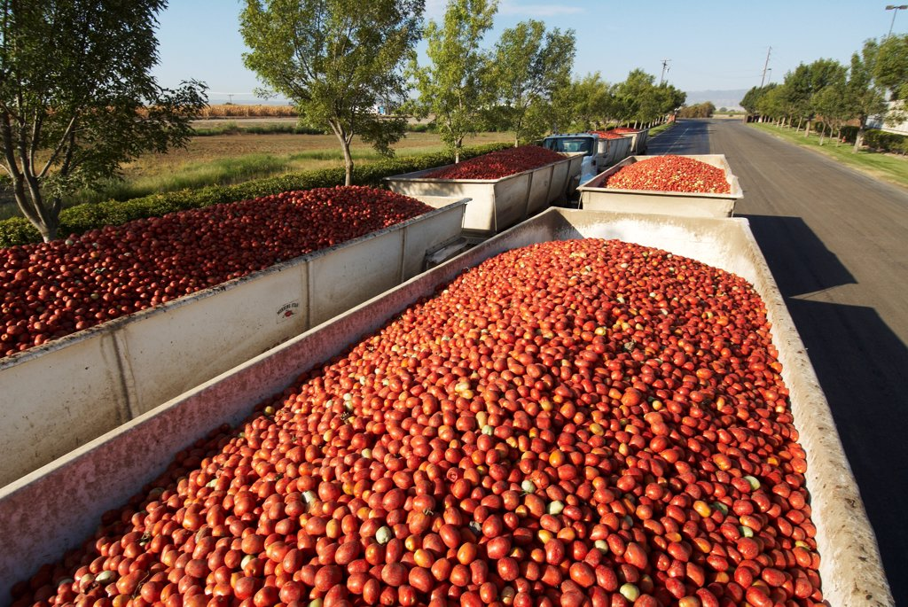 Stock Photo: 4316-6702 Trailers filled with processing tomatoes awaiting processing at a large tomato processor, Central Valley, California, USA