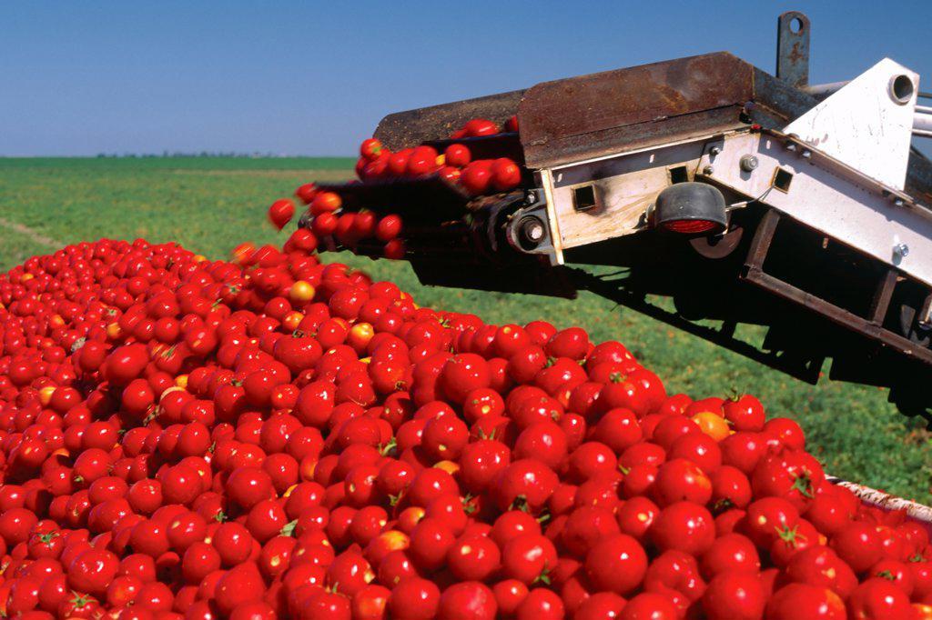 Stock Photo: 4316-678 Tomato Harvest