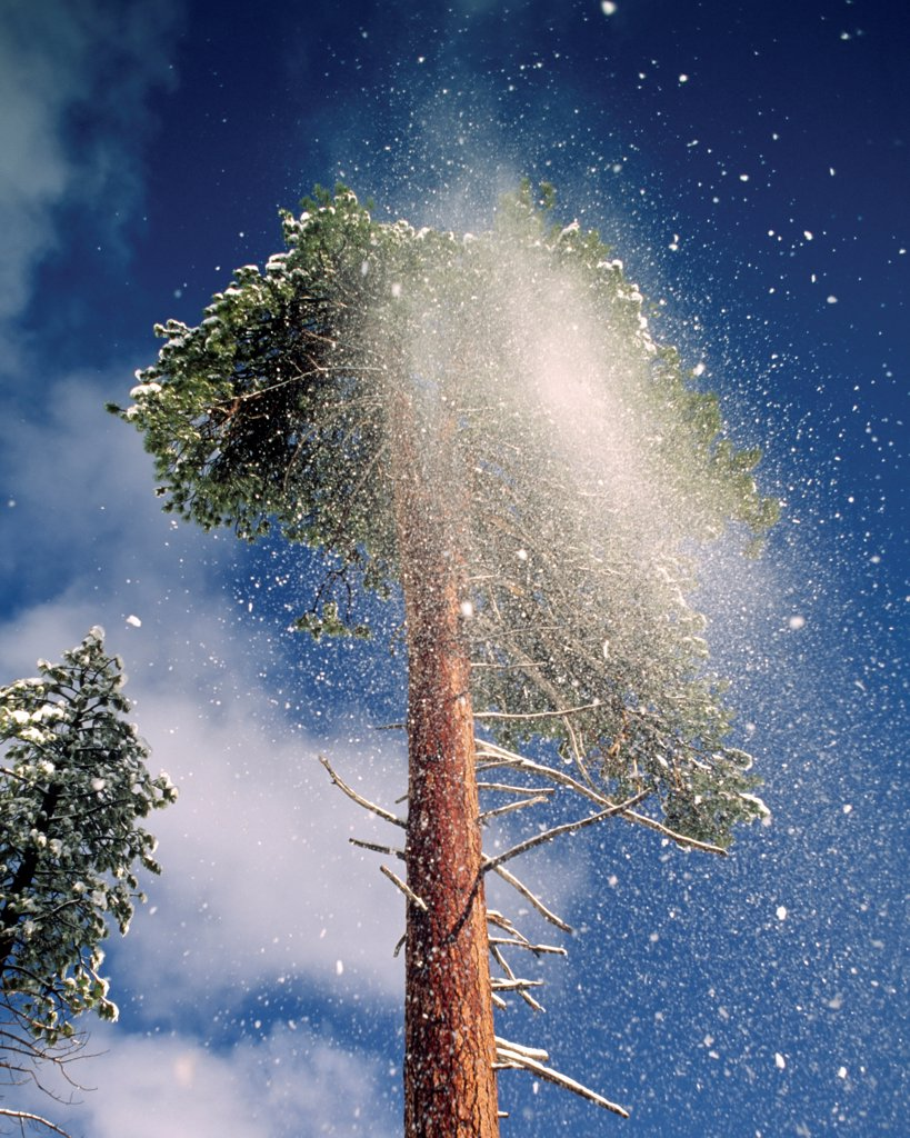Stock Photo: 4316-721 Plume of Fresh Snow Careens Off Tree Branches After a Snow Storm
