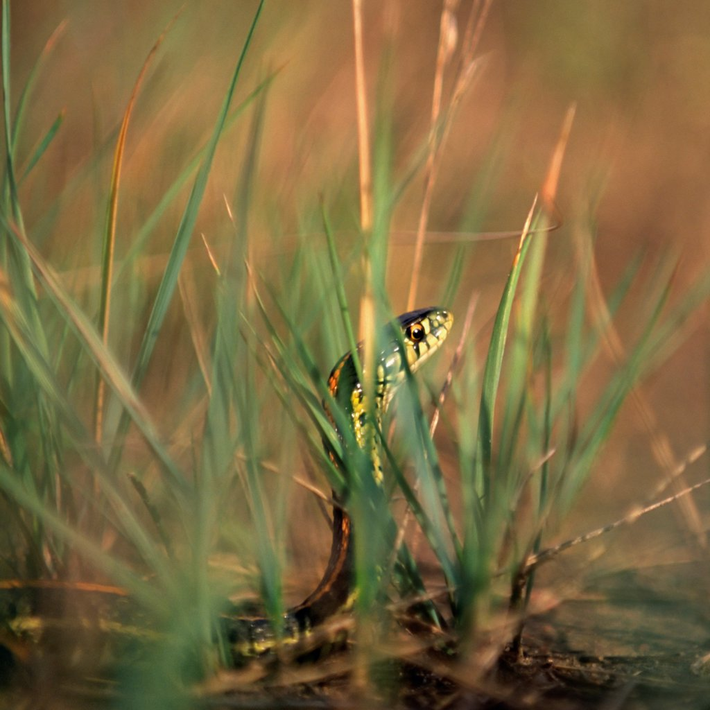 A Garter Snake in the Grass : Stock Photo