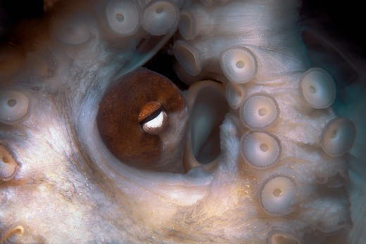 Close Up of an Octopus Eye and Tentacle : Stock Photo