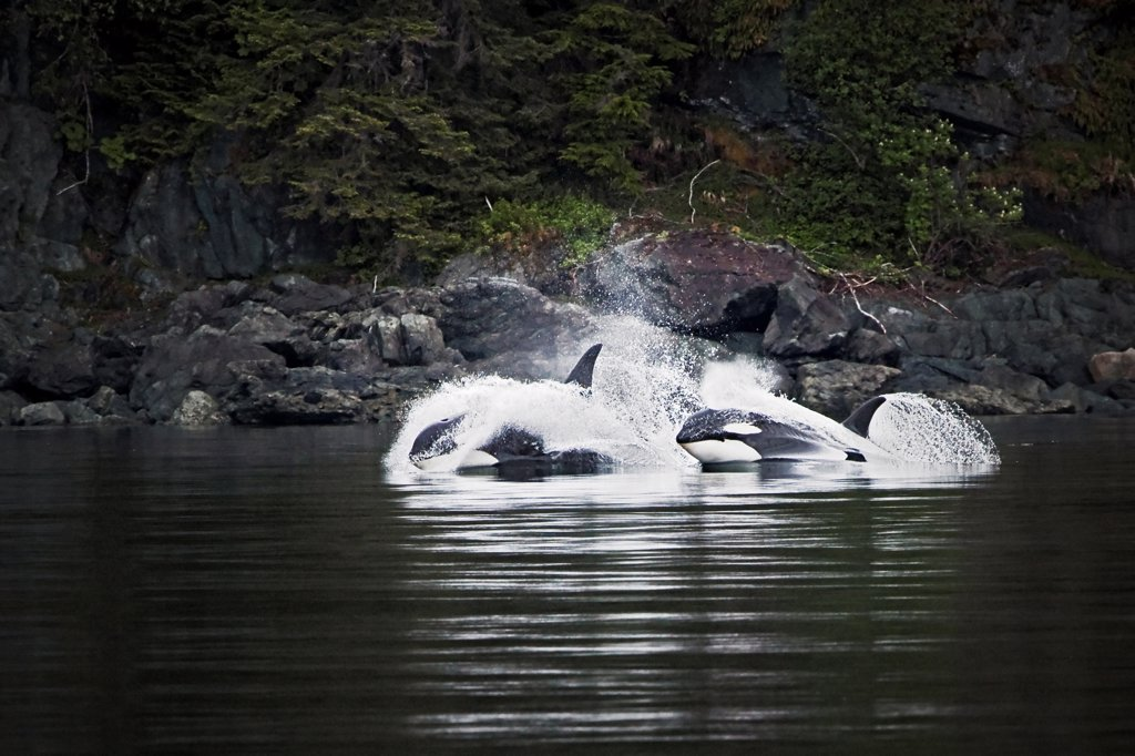 Stock Photo: 4331-105 Two orcas cruise away from the group, vigorously hunting king salmon. They are part of was a large pod, or group,  of resident killer whales off of Juneau, on Alaska's rocky coastline.