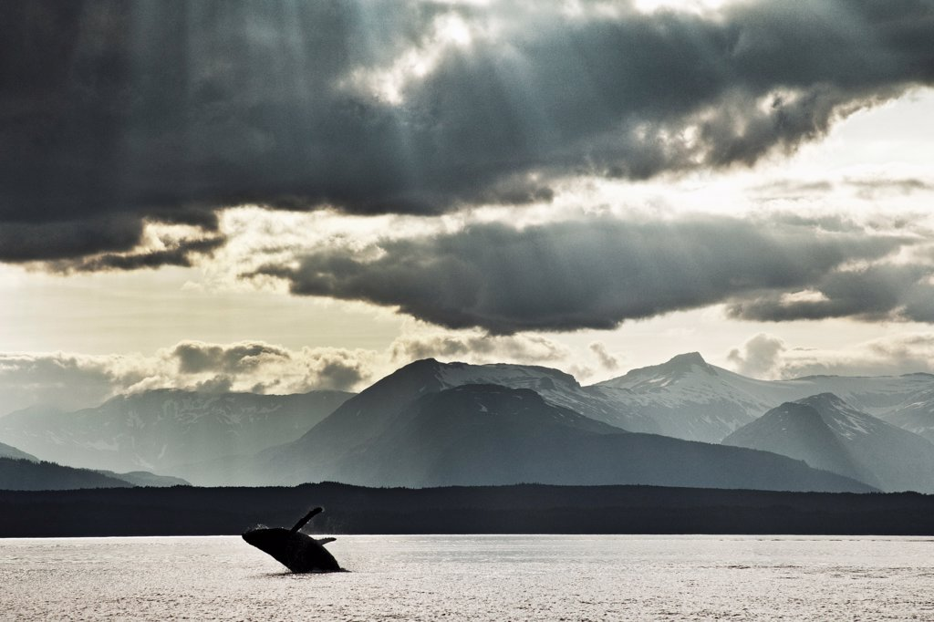 A young humpback whale breaches with its flukes wide open. Admiralty Island is in the background and holds one of the densest population of brown bear in the world. The ray of light sneaking through the clouds is referred to as a 'sucker hole'. : Stock Photo