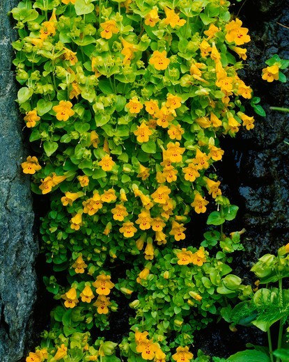 Stock Photo: 4332-1480 Yellow monkey flower, Mimulus guttatus, growing from seep on cliff of Summit Island, Walrus Islands State Game Sanctuary, Bristol Bay, Bering Sea, Alaska.