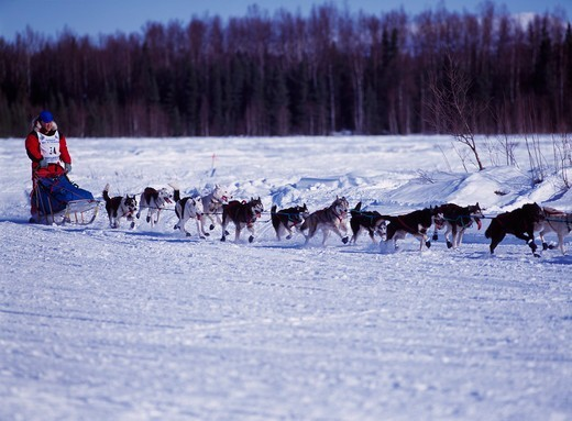 Buck Church, 59-years-old, from Christmas Valley, Oregon running his firest Iditarod race during 2001, Long Lake, Willow, Alaska. : Stock Photo