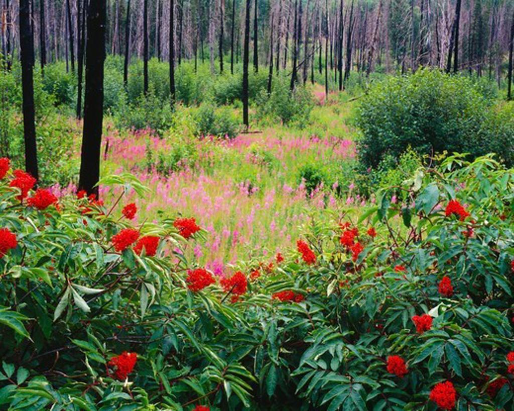 Stock Photo: 4332-182 Red Elderberry (Sambucus racemosa) and Fireweed (Epilobium angustifolium).