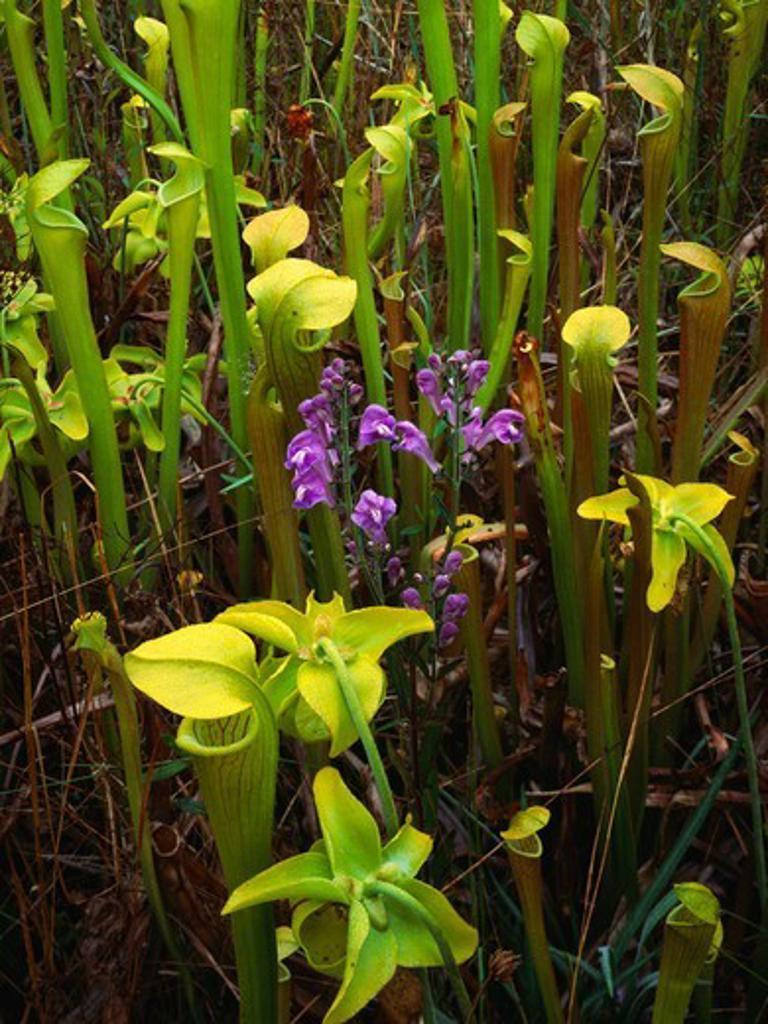 Stock Photo: 4332-290 Yellow Trumpets (Sarracenia alata), carnivorous plants, along with Rough Skullcap (Scutterlaria integrifolia), Hickory Creek Unit of Big Thicket National Preserve, Texas.