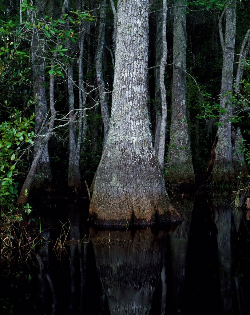 Stock Photo: 4332-4174 Buttressed trunk of Swamp Tupalo, Nyssa biflora, Middle Fork of the Suwannee River, Okefenokee Swamp, Okefenokee National Wildlife Refuge, Georgia.