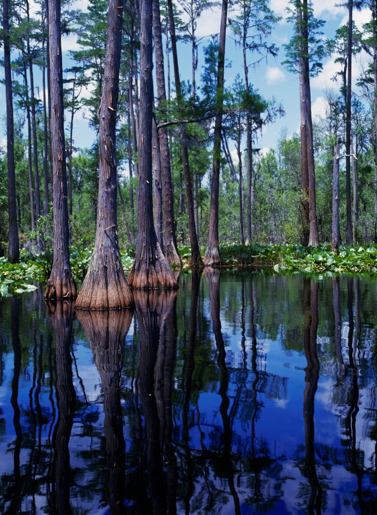 Pond Cypress and waterlilies along the Suwannee River, Okefenokee National Wildlife Refuge, Georgia. : Stock Photo