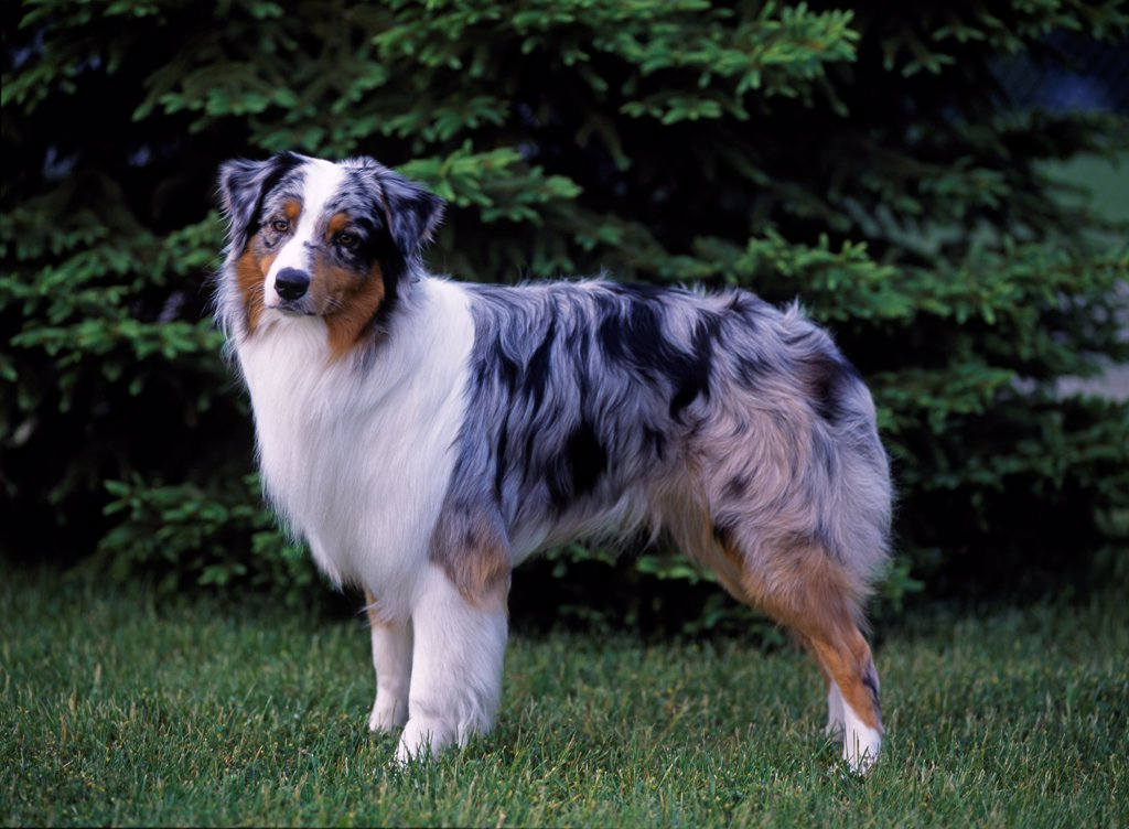 Australian Shepherd, AKC, 1 1/2-year-old 'Quincy'  photographed in Kalamazoo, Michigan and owned by Leslie Cheterbok of Lincoln Park, Michigan. : Stock Photo