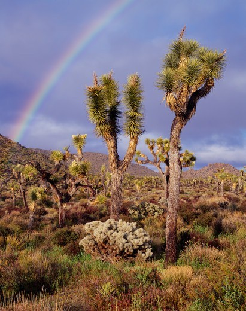Rainbow beyond Joshua Trees, Yucca brevifolia, and Silver Cholla, Cylindropuntia echinocarpa, Queen Valley, Joshua Tree National Park, California. : Stock Photo