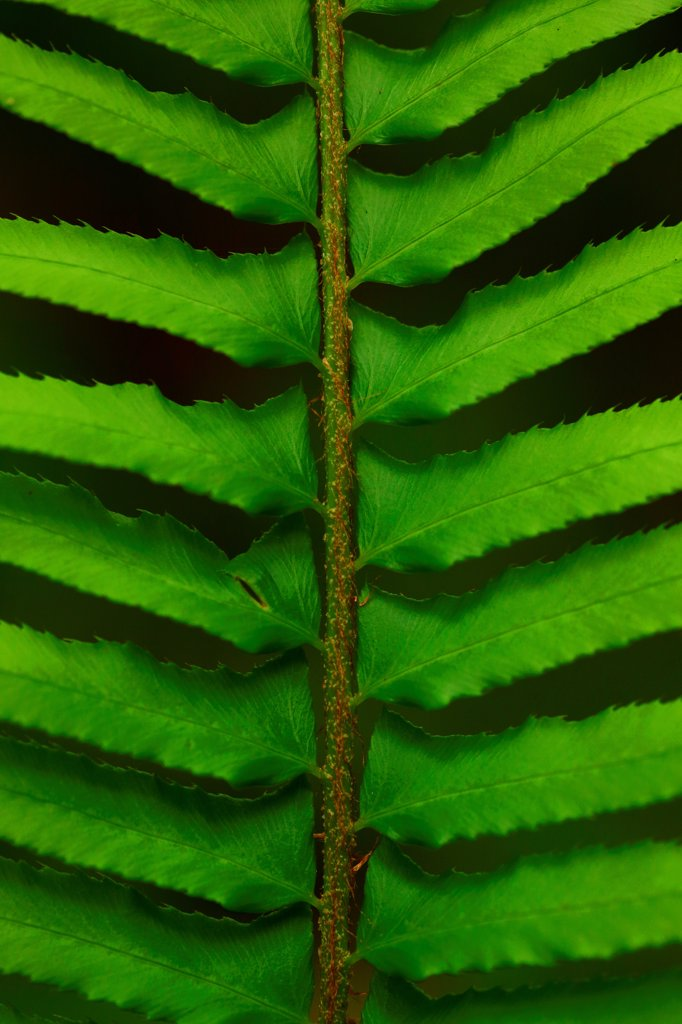 USA, Oregon, Silver Falls State Park, Sword Fern leaf : Stock Photo