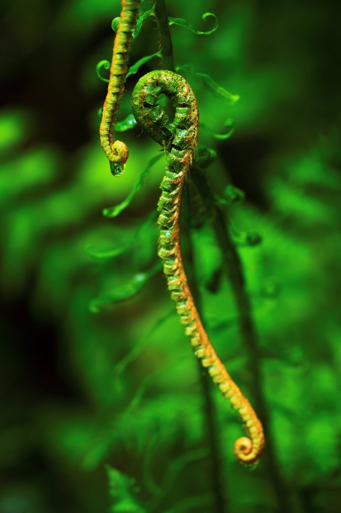 Curled fern fronds, one with a water droplet, Silver Falls State Park, Oregon. : Stock Photo