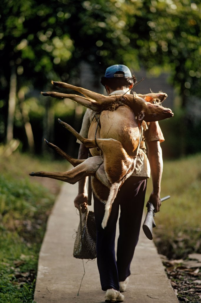 A hunter in the remote Long San community along the  Baram River in Sarawak, Malaysia, coming back with two kijang (a type of deer) over his shoulder.  Guns have replaced spears and blowguns for the most part. : Stock Photo