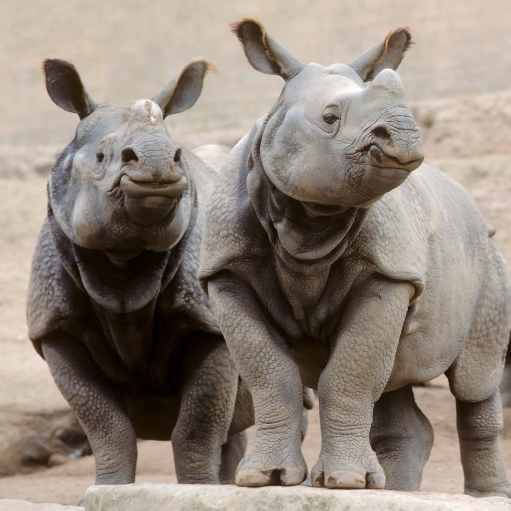 Rhinoceros in the San Diego Wild Animal Park. : Stock Photo