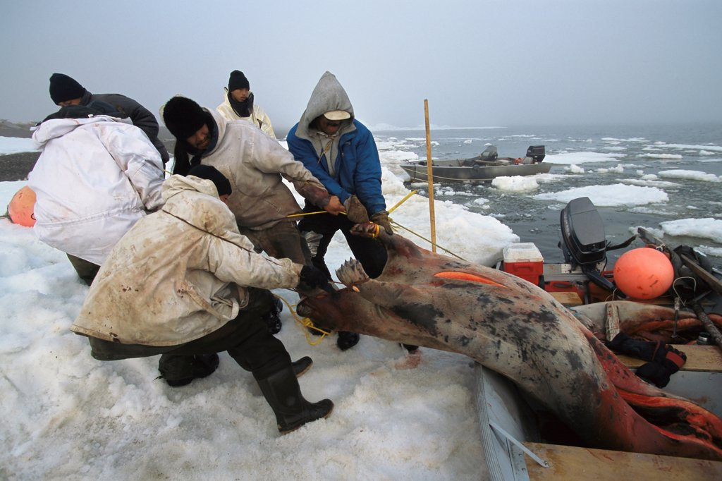 Stock Photo: 4339-478 Inupiat Eskimos catch Bearded Seals in Camp Krusenstern National Monument Park in Alaska