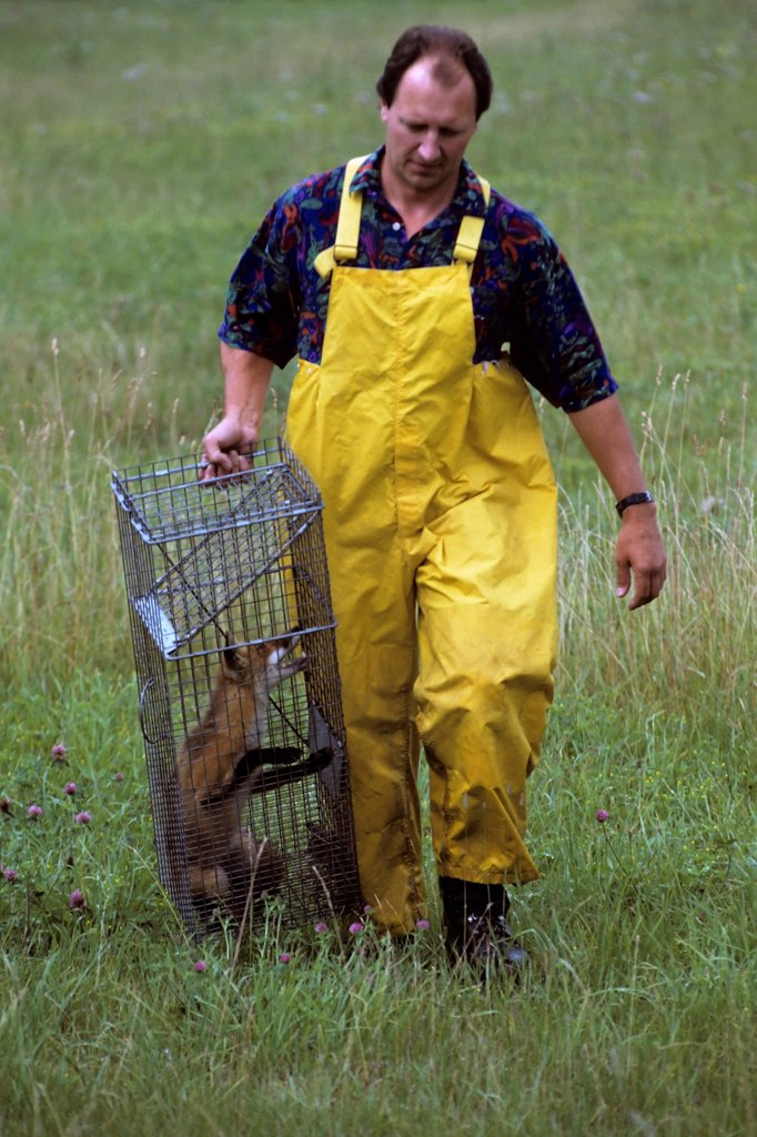 Stock Photo: 4339-685 A Man Carrying A Fox in a Cage