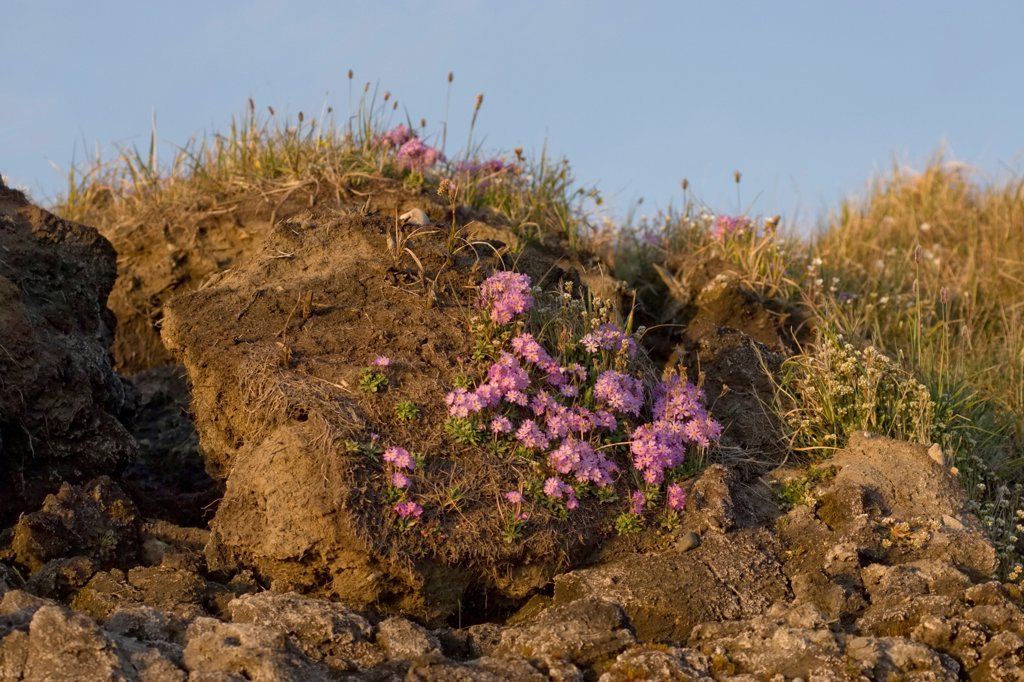 Stock Photo: 4340-1011 Northern Primrose Blooming Along The Arctic Coast Of Alaska