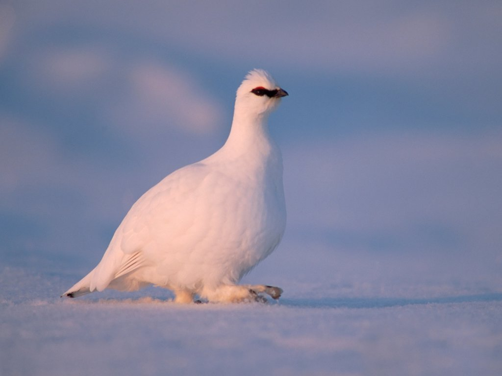 Rock Ptarmigan on Snow-Covered Tundra : Stock Photo