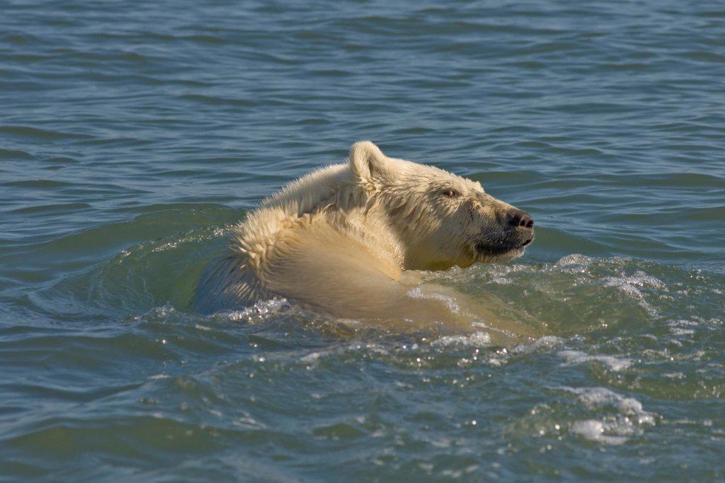 Male Polar Bear Swimming in the Beaufort Sea in Summertime, Arctic Ocean : Stock Photo