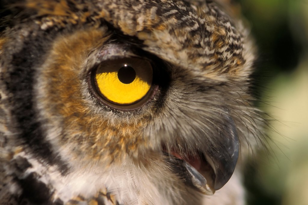 Stock Photo: 4340-124 Eye of a Great Horned Owl