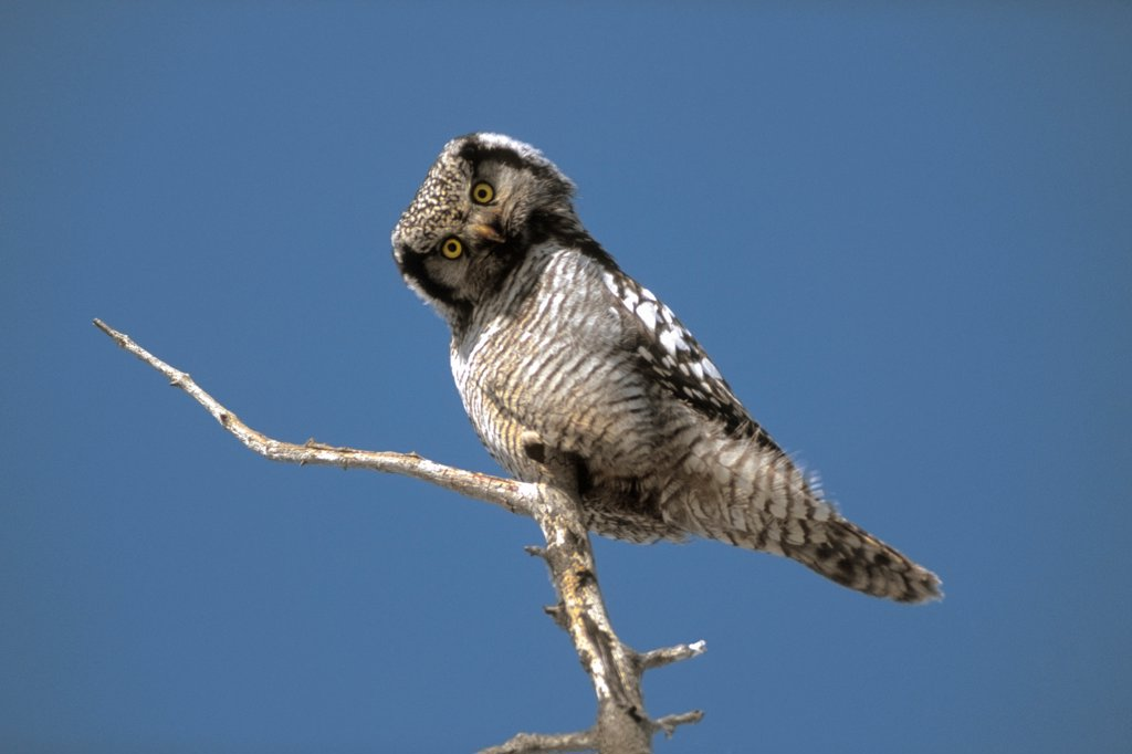 Stock Photo: 4340-129 Northern Hawk Owl Tilting Head