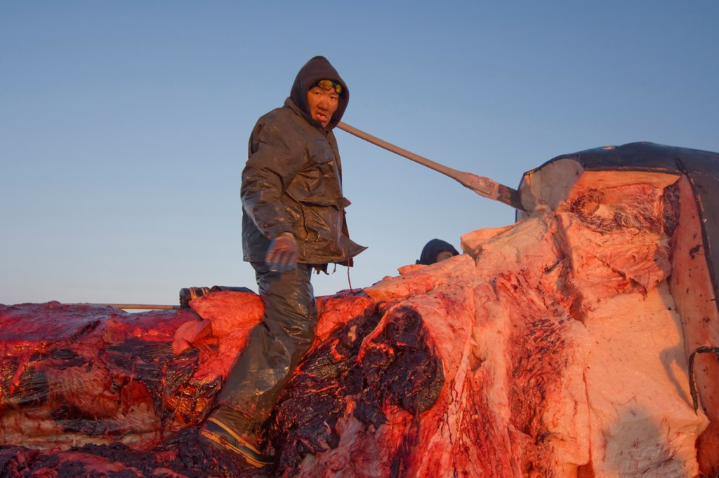 Stock Photo: 4340-1301 Inupiaq Subsistence Whaler Processes a Bowhead Whale Catch